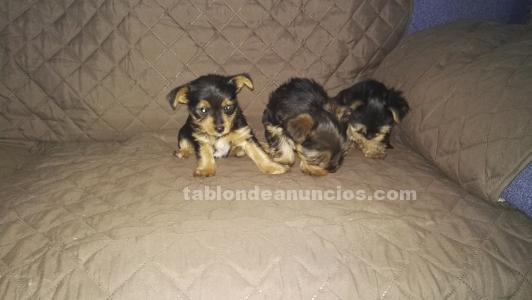 Cachorritos de yorkshire