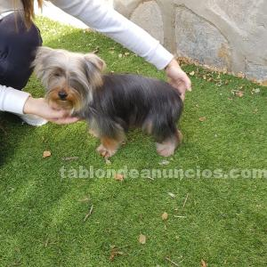 Macho 10 meses yorshire terrier