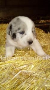 Cachorros border collie con cruce pastor vasco