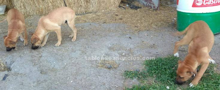Perros para pastoreo vacuno