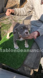 AMERICAN BULLY TRICOLOR LILAC