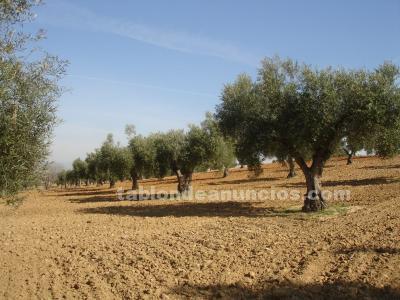 Olivar de 53 olivos