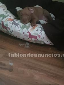 VENDO PITBULL RED NOSE