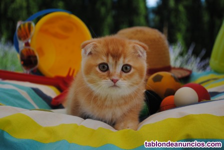 Scottish fold cachorros