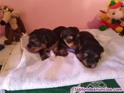 Vendo 2 perritos yorshaire