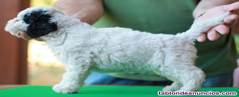 Cachorros perro de aguas español