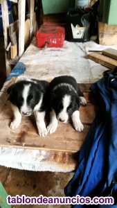 Vendo camada de border collie