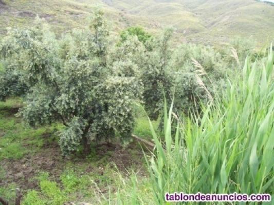 Parcela con olivos en venta