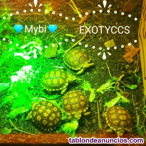 DISPONIBLE TORTUGAS SULCATAS