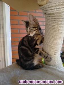 OLIVER (nacimiento julio 2018) gatito en adopcion Madrid