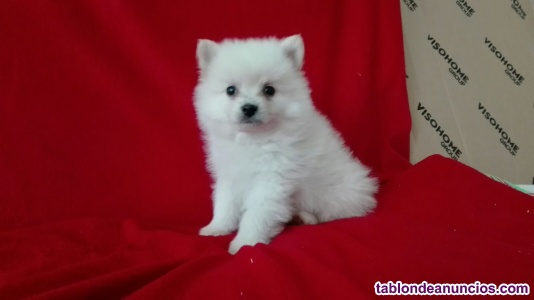 Pomerania cachorros 2 meses