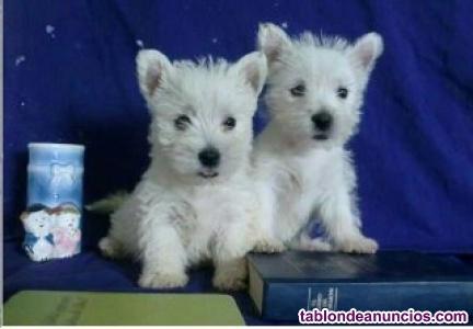 Cachorros westy  2 meses