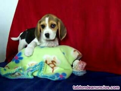 Beagle cachorros tricolores machos y hembras
