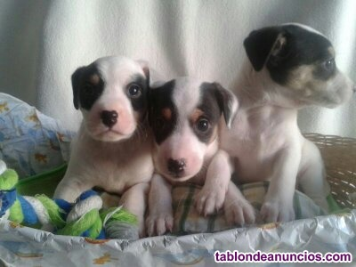 Bodegueros cachorros - andaluz