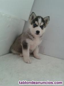 Husky siberiano preciosos y marcados