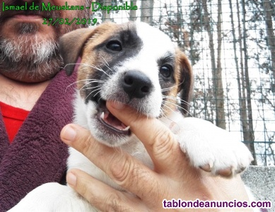 CACHORROS DE JACK RUSSELL TERRIER