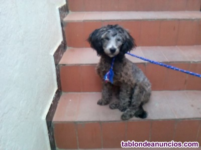 Vendo caniche toy