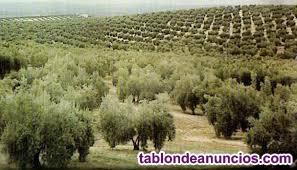 Vendo finca de 506 olivos