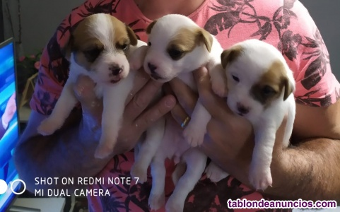 Cachorros de jack rasell terrier
