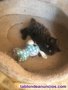 Vendo gatito persa 200 euros
