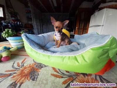 Chihuahua, cachorros