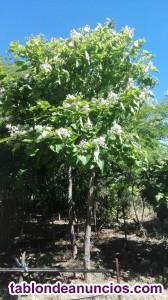 Venta de árboles de sombra