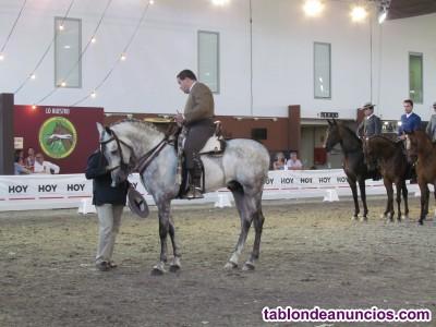Se vende caballo hispanoárabe de 6 años de alto nivel