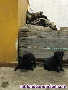 Regalo cachorros de pastor aragonés