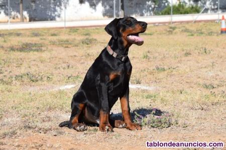 Cachorros dobermann