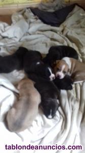 Familia vende cachorritos stanfordshire terrier