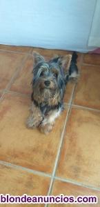 Yorshike terrier