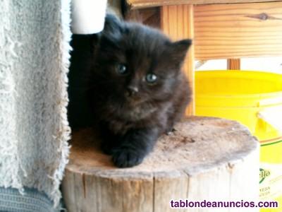 Gatitos negros de ojos verdes