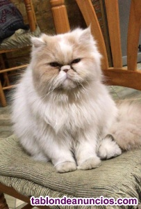 Gatos persas americanos