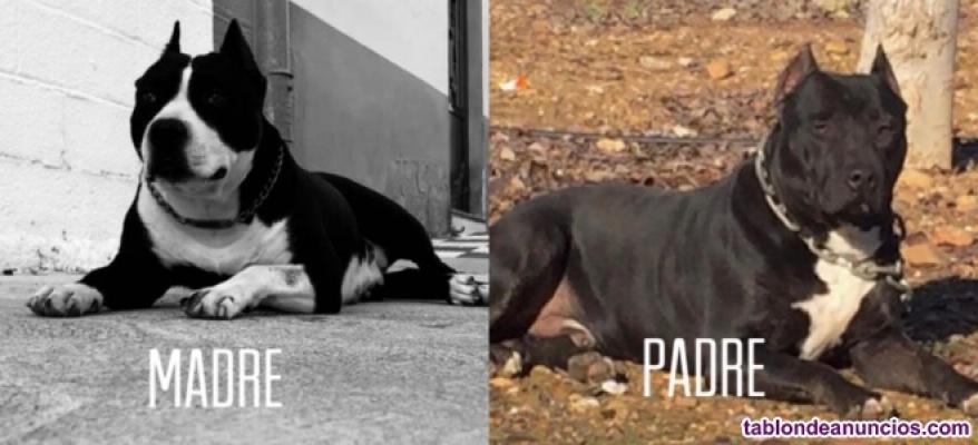 Se vende excelente camada pitbull terrier