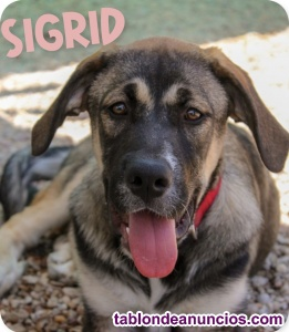 SIGRID, cachorrona en adopcion