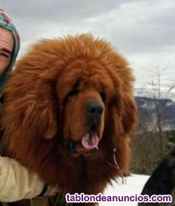 Mastín tibetano camada para febrero