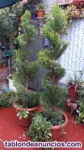 Arboles podado,Cupressus ,Wilma 185 cm