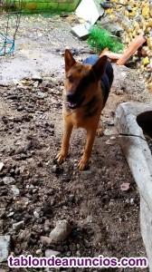 Venta de cachorros de Pastor Aleman Puros