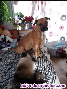 Regalo american sttafordshire terrier