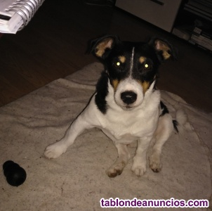 Jack Russell busca hembra