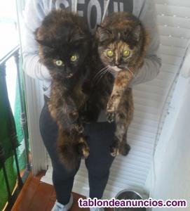 Regalo dos gatitas