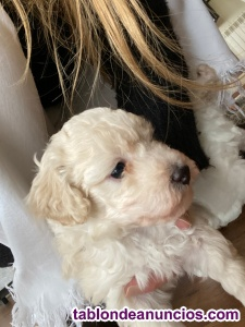 Se vende cachorro de caniche toy