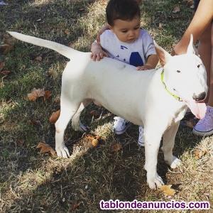 S3 regala bull terrier