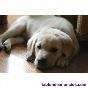 Se ofrece Labrador para monta.