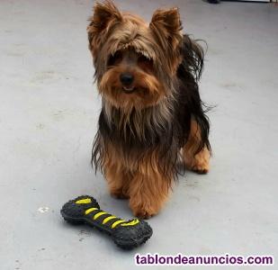Yorkshine terrier mini con pedigri busca novia