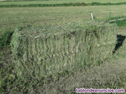 Alfalfa en rama