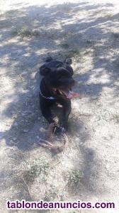 Monta de Stanforsire Bull Terrier