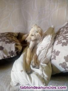 Cachorros galgo español