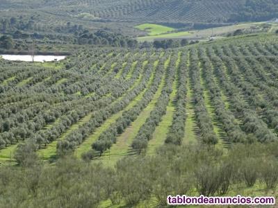Finca de 10.000 olivos regadío en genave (jaén)