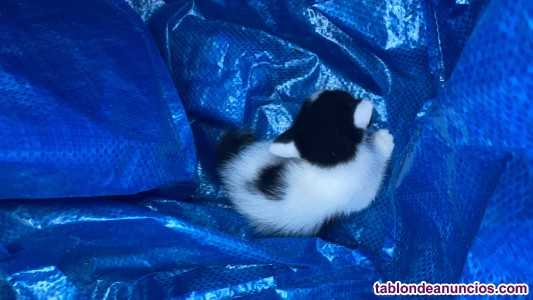 Regalo gatito de un mes y medio